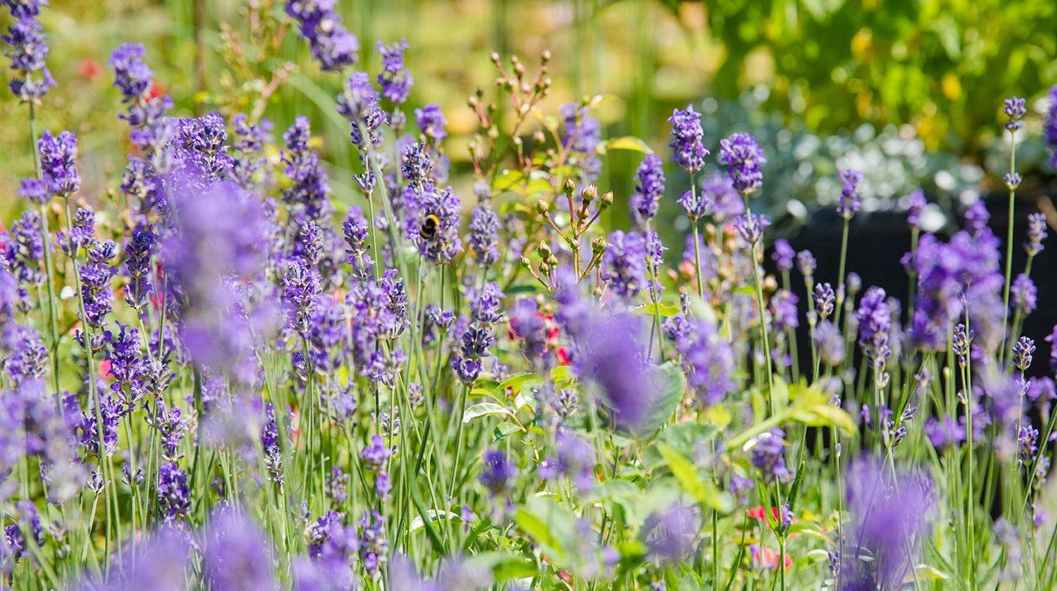 bienenfreundlichen Pflanzen im Garten
